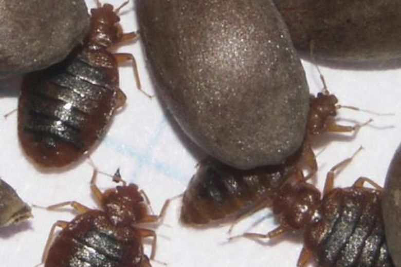 pest control bed bugs